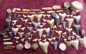 Shark Teeth and Fossils for Sale in Lake Wales, FL