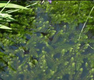 Hornwort aquatic plant! for Sale in Pomona, CA