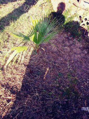 Small Palm trees for Sale in Yuma, AZ
