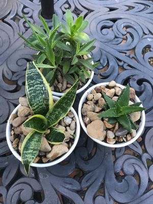 succulents each for Sale in Plano, TX