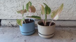 Chinese evergreen plants for Sale in Phoenix, AZ