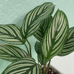 Calathea Vittata In Hand Painted Ceramic Pot for Sale in Pflugerville,  TX