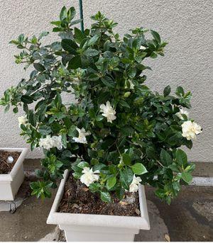 """Big gardenia plant in a 20"""" pot for Sale in Fresno, CA"""