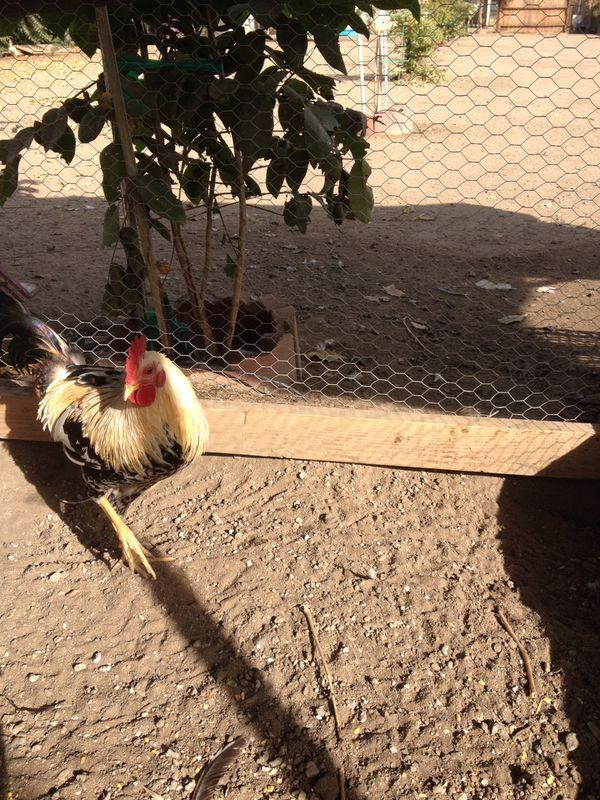 Pollo grande