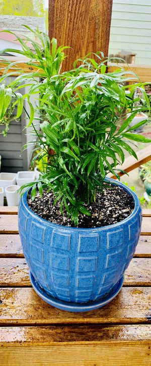 Live indoor Neanta Bella Palm house plant in a textured ceramic planter flower pot with attached base—firm price for Sale in Seattle, WA