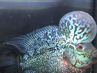 Flower Horn Fish for Sale in Renton,  WA