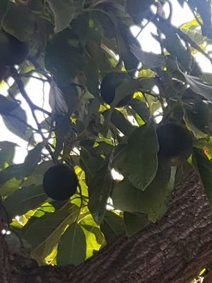Aguacates for Sale in Los Angeles, CA