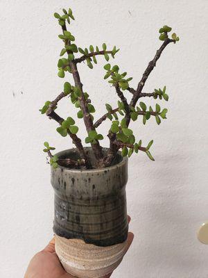 Portulacaria afra succulent for Sale in Temecula, CA