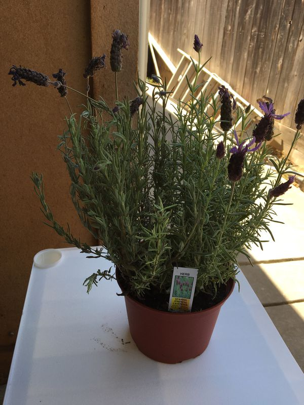 plants Lavender ( French style)