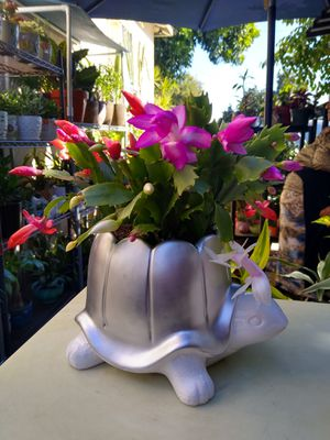 CHRISTMAS CACTUS for Sale in Paramount, CA