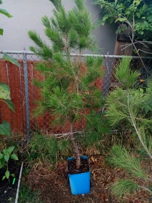 Pine tree for Sale in San Dimas, CA