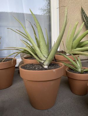 Potted Aloe Plants for Sale in Carlsbad, CA