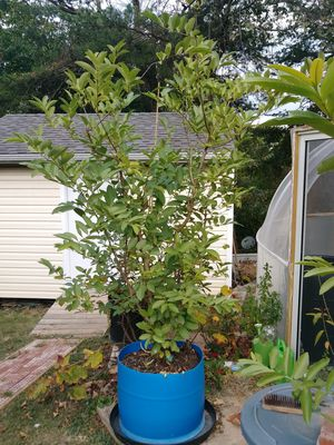 Guava Plant for Sale in NEW CARROLLTN, MD