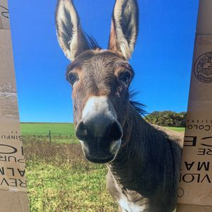 Donkey Canvas Frame for Sale in Houston, TX