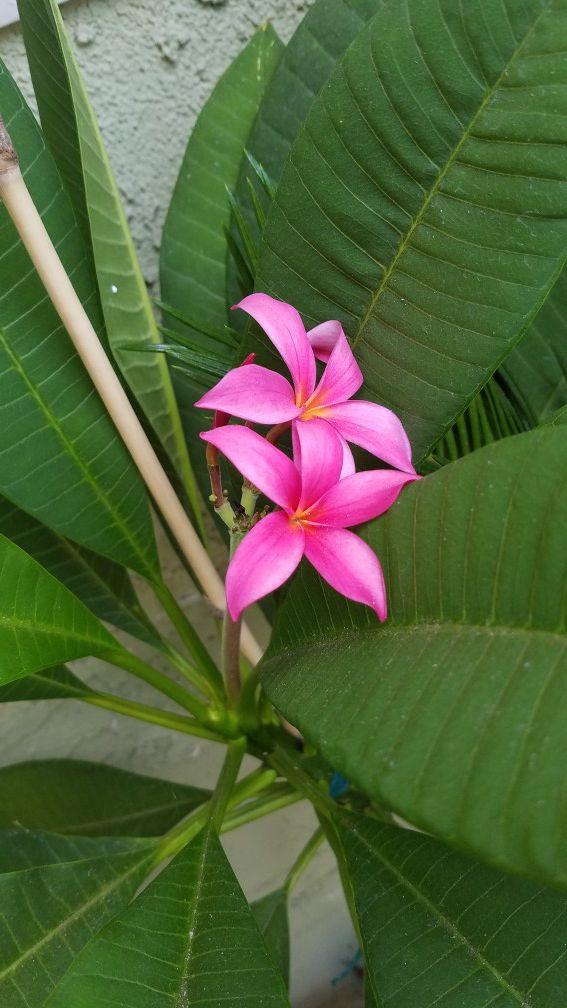 Plant plumeria
