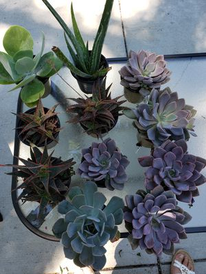 Succulents for Sale in Shelby charter Township, MI