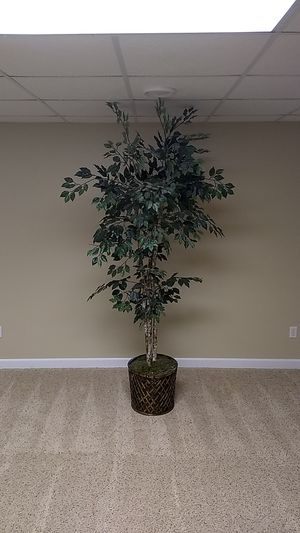 Ficus Tree for Sale in Minster, OH