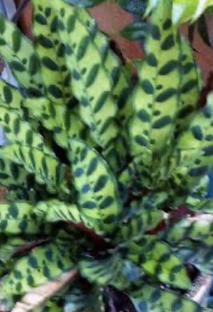 Rattlesnake plants for Sale in Odessa, FL
