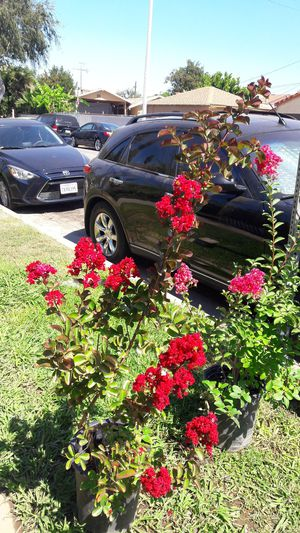 Red crepe myrtle tree for Sale in East Los Angeles, CA