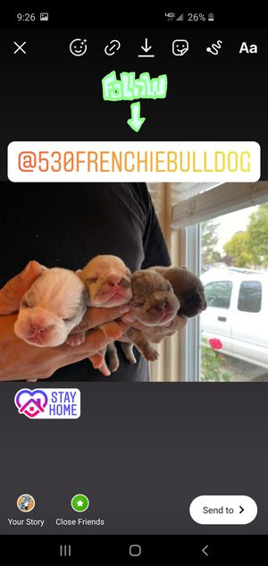 Frenchie for Sale in Sacramento, CA