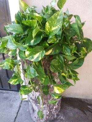 Planta grande de sombra for Sale in South Gate, CA