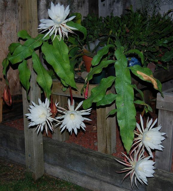 Large tropical plant CEREUS 3'T 4'W