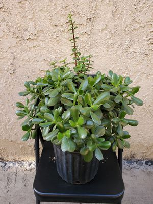 Jade & Elephant Bush Succulent Plant for Sale in Garden Grove, CA