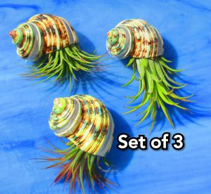 Set of 3 Air plants in Hanging Silver Striped Green Turbo Shell for Sale in Las Vegas, NV