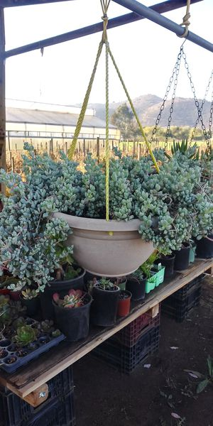 Big hanging plant for Sale in San Marcos, CA