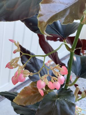 Blooming beginia red angel wing (torch) house plant for Sale in Tacoma, WA