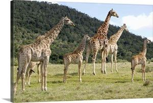 Giraffes in safari park 36 x 24 for Sale in Renton, WA