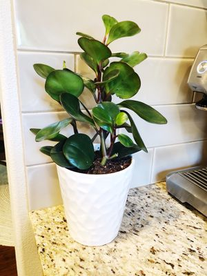 Plant - with white pot for Sale in Vancouver, WA