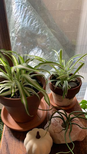 Spider plants for sale! Indoor plants! for Sale in Lexington, KY