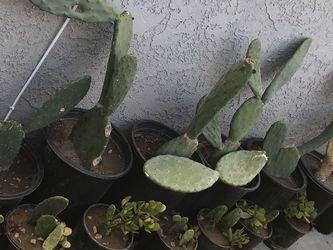 Catus Plants $7 Five Gallon /Nolpal $7 -5 gallon for Sale in Compton,  CA