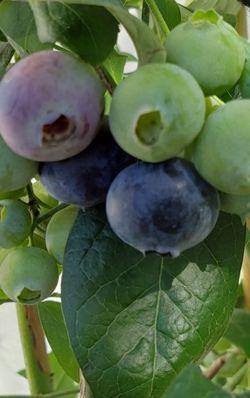 Organic Highbush Blueberry Tree for Sale in Monrovia,  CA