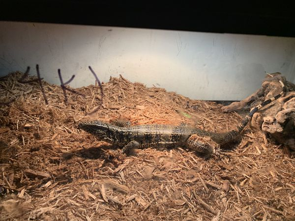 Golden tegu/ reptile/ animal pet
