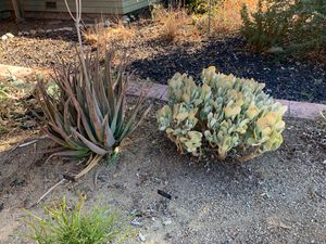 Free Succulents! Aloe Barbadensis and Crasula Arborescens for Sale in La Verne, CA