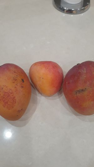 5 BIG TREES FULL TO THE TOP FOR SALE FULL OF MANGOS for Sale in Miami, FL