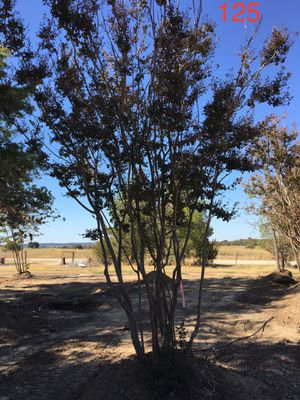 Crepe Myrtle fall clearance - now is the time to plant ! for Sale in Grapevine, TX