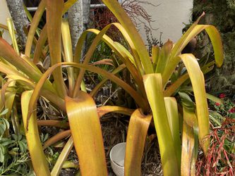 Bromeliad Giant version with red spikes flowers, tropical plant for Sale in Boynton Beach,  FL