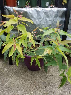 Lemon eucalyptus, Corymbia citriodora for Sale in Port Orchard, WA
