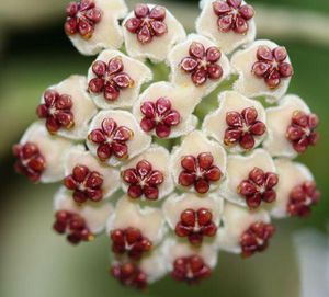 Hoya kerrii for Sale in Lynwood, CA