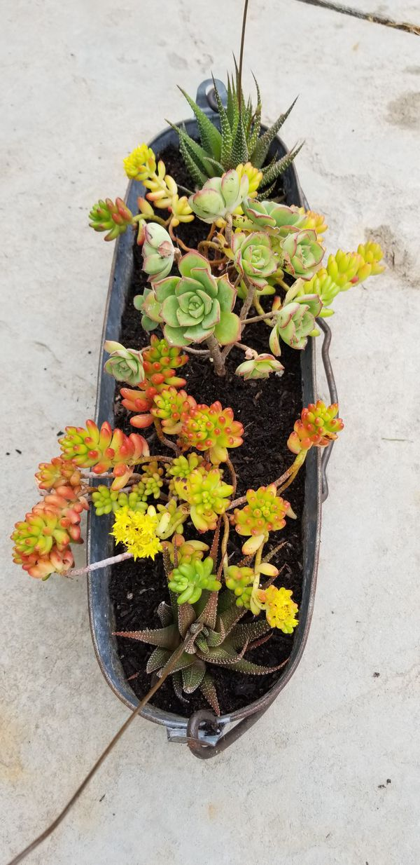 Flowering Succulent Bouquet Comes with Basket Price Negotiable