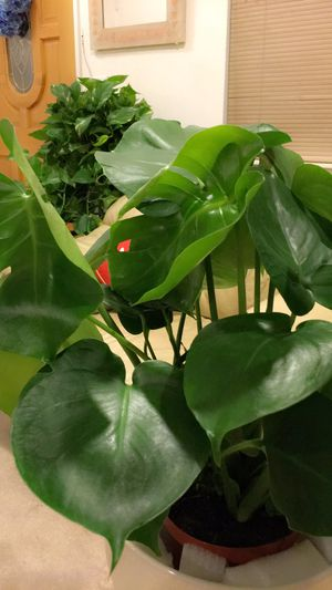 """Monstera Deliciosa Split Leaf Philodendron - Swiss Cheese House Plant - About 20"""" Tall Plant only - PLANTER IS NOT INCLUDED for Sale in Garden Grove, CA"""