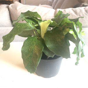 Calathea network musaica for Sale in Las Vegas, NV