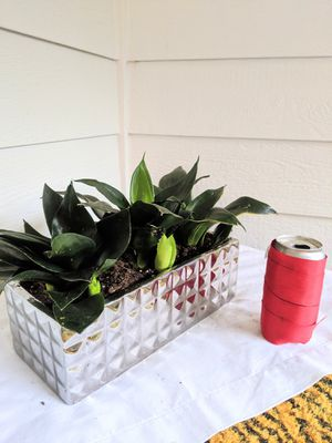 Black Bird's Nest Snake Plants in Silver Rectangular Ceramic Planter Pot- Real Indoor House Plant for Sale in Auburn, WA