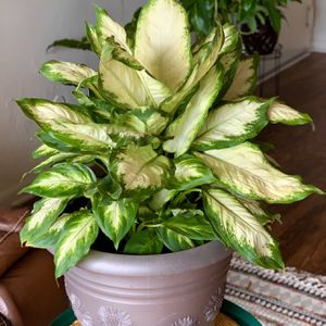 Dieffenbachia 'Camille' Houseplant - Price Including Pot And Delivery for Sale in Virginia Beach, VA