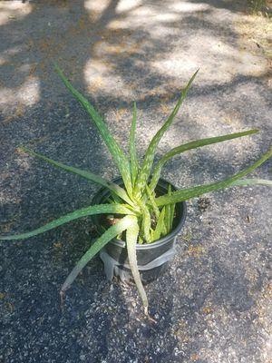 Aloe vera plant for Sale in Arlington Heights, IL