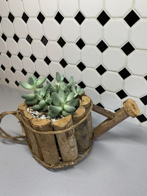 Beautiful Rosette Succulent Plant for Sale in Lakewood, CO