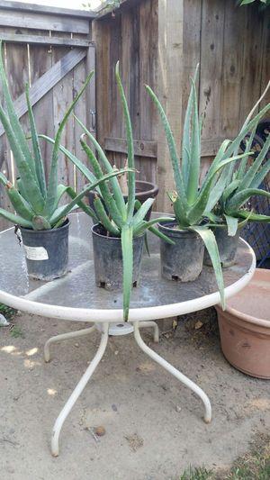 Medicinal Aloe Vera Plants for Sale in Lodi, CA